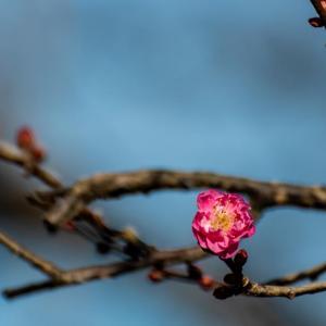 京王百草園 早咲きの紅梅