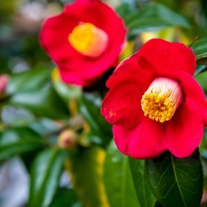 今週の高幡不動尊(1/25) 白梅も咲き始めた