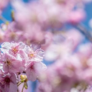 今週の高幡不動尊(2/23 その2) 河津桜が見頃