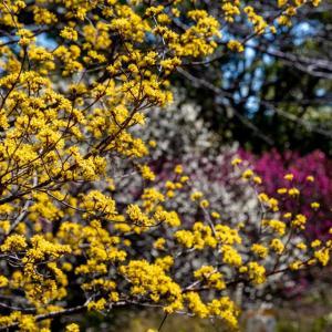 昭和記念公園 梅園の黄色い花々(02/24)