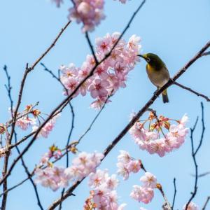 今週の高幡不動尊(2/29 その2)河津桜が満開