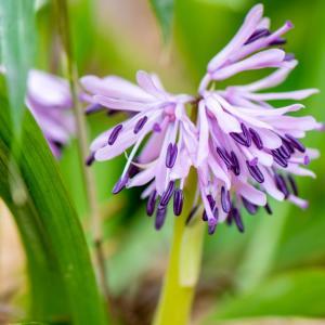 今週の高幡不動尊(3/20 その2)ショウジョウバカマが咲いた