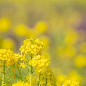 昭和記念公園 2つの菜の花畑(03/21)