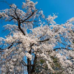 昭和記念公園 2本の枝垂桜(03/21)