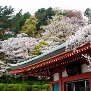 今週の高幡不動尊(3/28)桜の様子