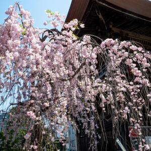 今週の高幡不動尊(04/04)花まつり