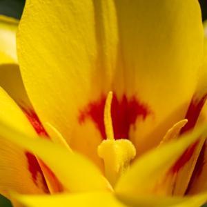 昭和記念公園 原種系チューリップと花たち(03/21)