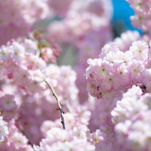 今週の高幡不動尊(04/04 その3)枝垂桜が色っぽい