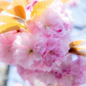 今週の高幡不動尊(04/11 その2)最後は八重桜