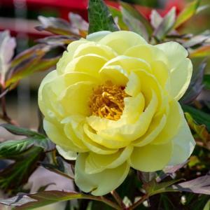 今週の高幡不動尊(04/29) 牡丹と芍薬