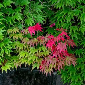 今週の高幡不動尊(05/09) モミジの赤い実