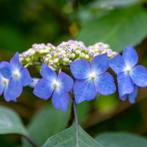 今週の高幡不動尊(05/17 その2) 山アジサイが咲き始めた