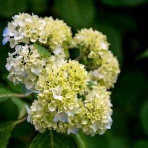 今週の高幡不動尊(05/23 その2) 咲き始めの西洋アジサイ
