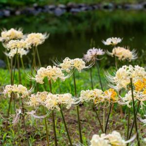 昭和記念公園 リコリスガーデン(9/22)