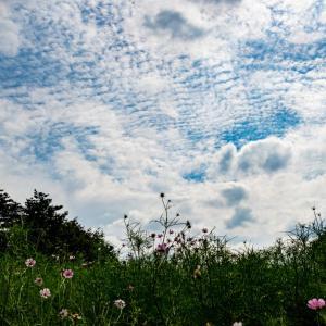 昭和記念公園 秋桜と秋空(9/22)