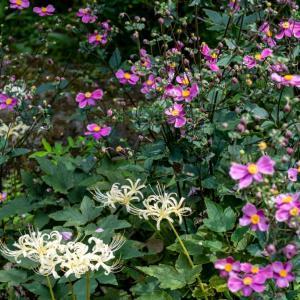 昭和記念公園 日本庭園の様子(9/22)