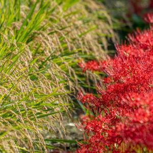 近所の秋 稲穂と彼岸花