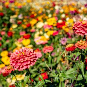 昭和記念公園 みんなの原っぱ南花畑