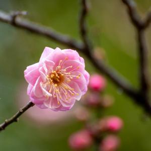 京王百草園 すでに梅が開花(12/29)