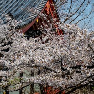 今週の高幡不動尊(03/27) 桜が満開