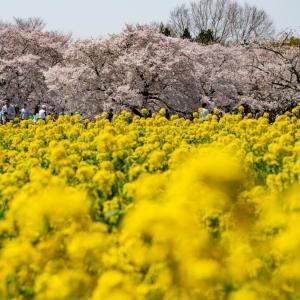 昭和記念公園 桜と菜の花畑(過去写真)