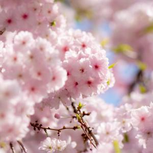 今週の高幡不動尊(04/03) 枝垂れ桜が見頃