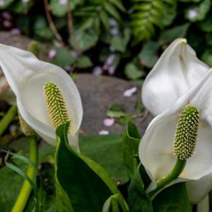今週の高幡不動尊(04/03 その2) 水芭蕉の花が咲いている