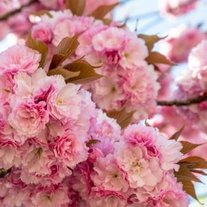 今週の高幡不動尊(04/10) 最後は八重桜