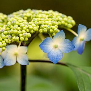 今週の高幡不動尊(05/09) 気の早い紫陽花