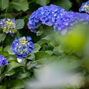 今週の高幡不動尊(05/29) 西洋アジサイ・額アジサイも咲き始め