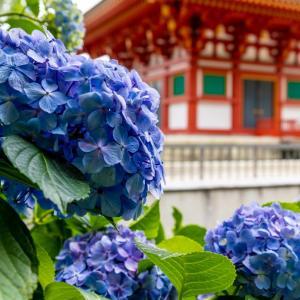 今週の高幡不動尊(06/13) アジサイが咲く風景