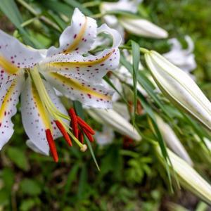 今週の高幡不動尊(07/11) ヤマユリとハスの花
