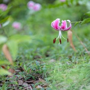 昭和記念公園 鹿の子ユリ(08/07)