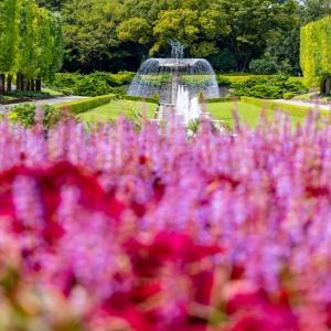 昭和記念公園 カナールの銀杏と百日紅