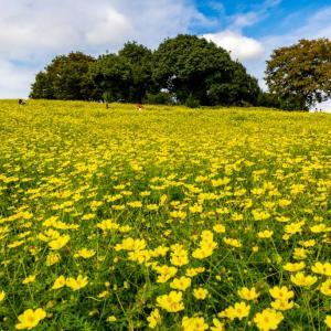 昭和記念公園 花の丘のレモンブライトを再び