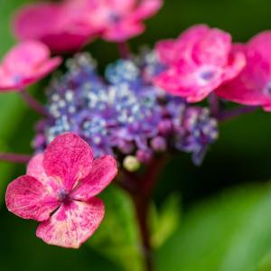 今週の高幡不動尊(6/23)その2 アジサイと夏の花々