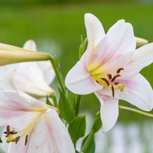 近所の夏の花