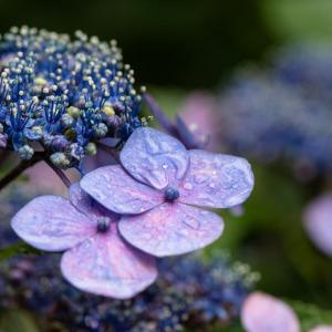 水々しい紫陽花