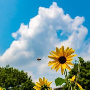 祝!梅雨明け 昭和記念公園 ひまわりと夏花壇