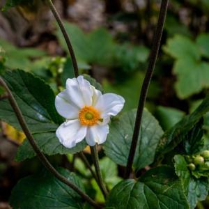 今週の高幡不動尊(8/25) 秋明菊が咲き始めた