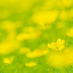 昭和記念公園 キバナコスモス(レモンブライト)