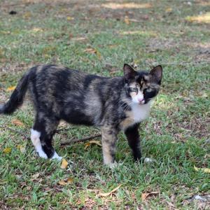 【一日一枚写真】ジョージタウンのサビ猫(承)【一眼レフ】