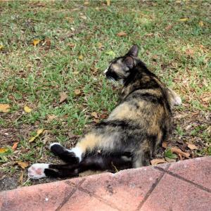 【一日一枚写真】ジョージタウンのサビ猫(転)【一眼レフ】