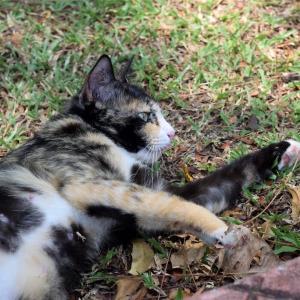 【一日一枚写真】ジョージタウンのサビ猫(結)【一眼レフ】