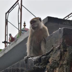 【一日一枚写真】バトゥ洞窟の猿達【一眼レフ】