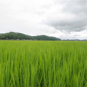 【一日一枚写真】近江の水田【一眼レフ】