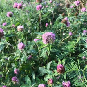 【一日一枚写真】アカツメクサの花々【スマホ】