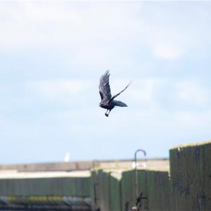 【一日一枚写真】港の鴉 Part.2【一眼レフ】