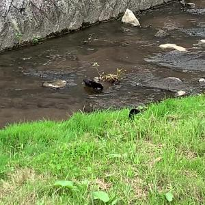 【黒いカワウソ】日本に野生のカワウソが現れた!絶滅危惧種?