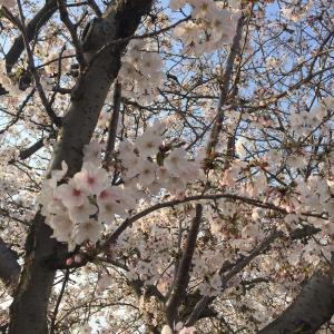 【1歳3歳育児】桜並木をお散歩した日【家庭学習】